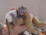 Gorgeous Male And Female Baby Face Capuchin Monkeys For Adoption