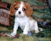 Kelsey is an adorable Cavalier king charles puppy